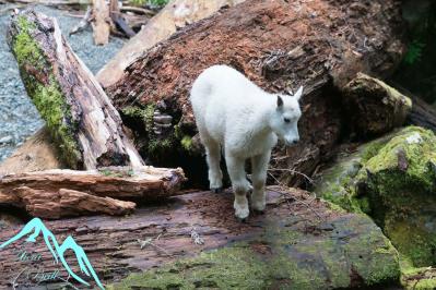 Baby mountain goat