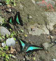 Butterflies in Indonesia